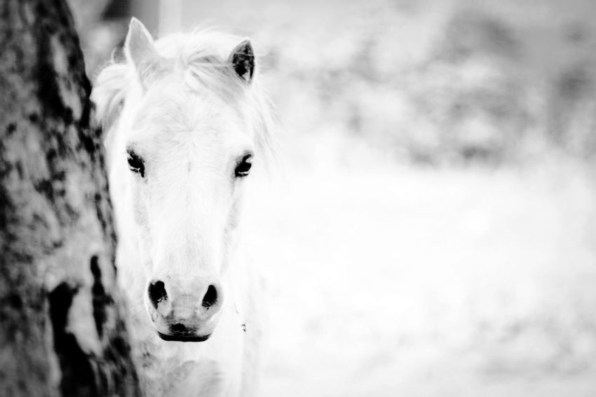 Animal Themes Black And White Blackandwhite Cavalo Domestic Animals Equestrian Equestrian Life Equine Focus On Foreground Horse Horse Life Horse Photography  Horses Livestock Looking At Camera Mammal Monochrome Monochrome Photography One Animal Outdoors Portrait Rule Of Thirds Stable Pet Portraits Black And White Friday