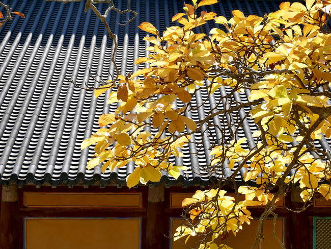Autumn yellow leaves in korea on the Korean traditional style roof. Autumn Autumn colors Autumn Leaves Korean Traditional Architecture Architecture Built Structure Day Decoration Fall Flower Flowering Plant Growth House Korean Style Nature Ornate Peaceful Plant Roof Tile Season  Temple Yellow