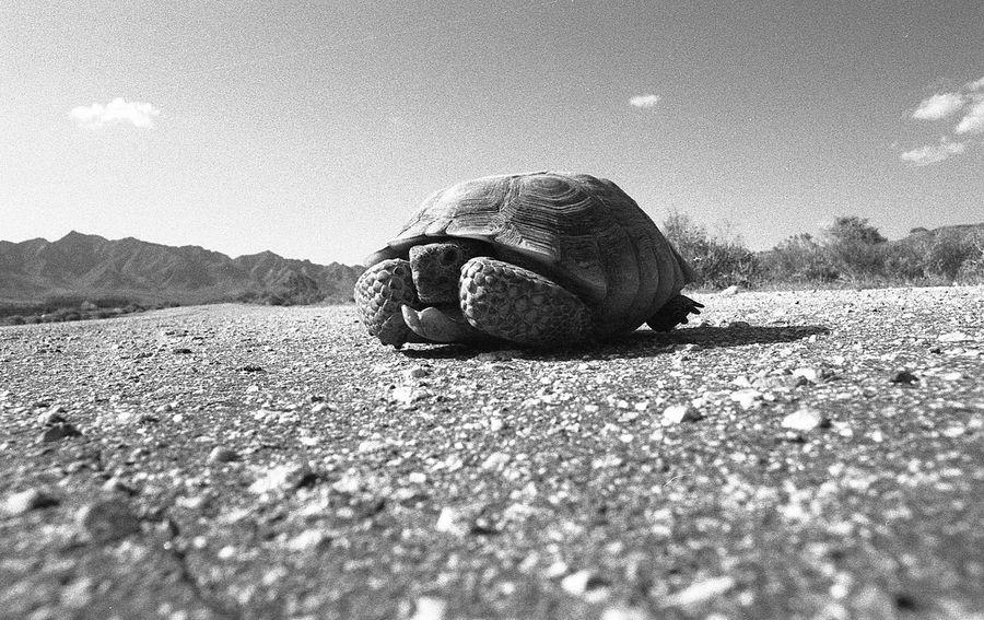 Desert tortoise in Mohave