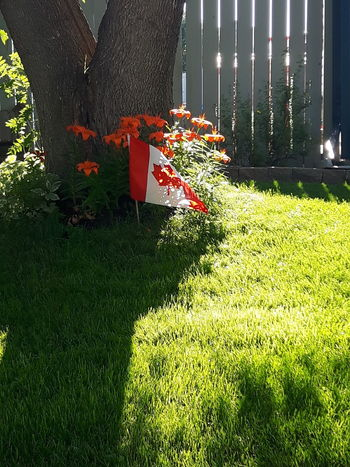 Green Color Grass Growth Front Or Back Yard Outdoors Day No People Nature Tree Blooming Growth Blossom Freshness Beauty In Nature Sunbeams Tree Canada Photos Canada150 Canada Flag Red And White Orange Green Grass Flowers,Plants & Garden Fence