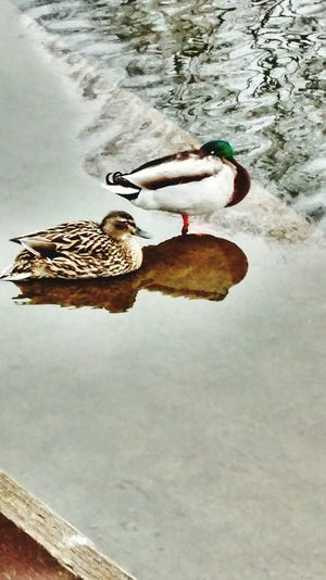Ducks Boating Lake Rainy Days Chilling