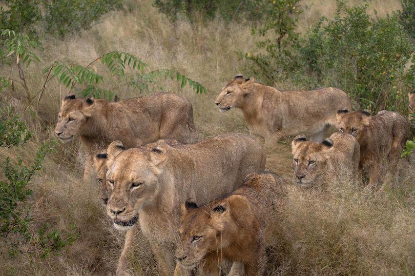 Lion Lioness Pride Of Lions South Africa Kruger National Park, South Africa Kruger Sabi Sands Big Five Cubs  Family Cubs  Group Of Lions Wild Cats Big Cats Wildlife Africa Safari Travel National Geographic