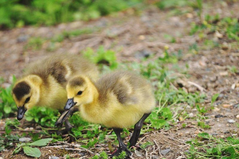 Chicks in a field