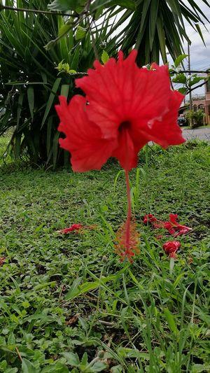 Flower Close-up Vibrant Color Red Nombre Amapola Flower Adolfo