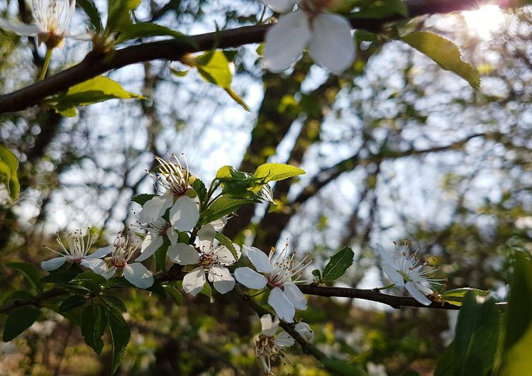 Nature Growth Branch Beauty In Nature Springtime Tranquility No People Leaf Freshness Outdoors Flower Close-up Day Fragility Flowers, Nature And Beauty Nature Photography Nature_perfection Blossom Petal Flower Head Beauty In Nature White Color Nature_collection Flowers_collection Plant