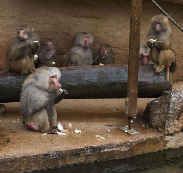 Baboons Wild Animal Animal Themes Animal Wildlife Animals In The Wild Apartment Baboon Day Feeding Apes Feeding Monkeys Food Mammal Monkey Nature No People Outdoors Primate Primates Wildlife Zoology