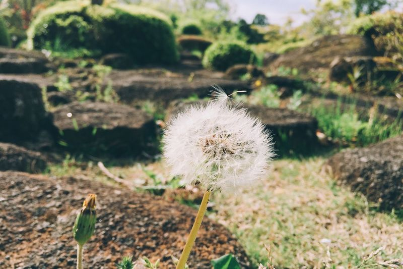 Flower Fragility Dandelion Nature Growth Focus On Foreground Plant Flower Head Beauty In Nature Softness Freshness Uncultivated Field Close-up Outdoors Day No People