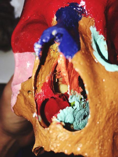 Anatomy Skully Skull Nose Nasal Real Still Life Close-up Art And Craft Sciences