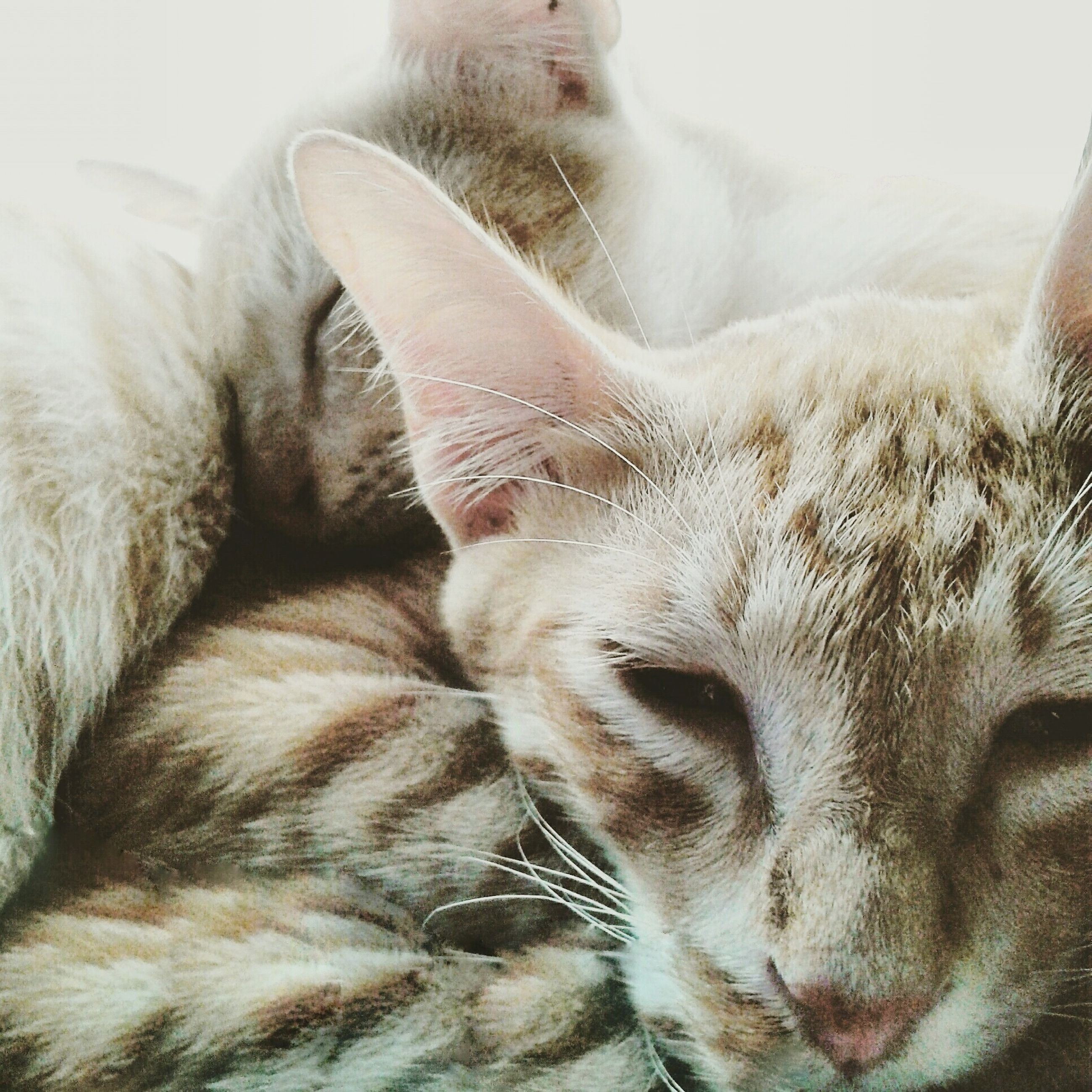 domestic animals, mammal, pets, animal themes, domestic cat, one animal, cat, feline, indoors, whisker, relaxation, close-up, resting, lying down, animal head, sleeping, eyes closed, animal body part, part of, home interior