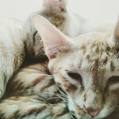 Awwwwe my cats are so adorable 😍 Cute Cats Cats Cats Of EyeEm Catslife Ilovecats Cuddlecats Arabiamau
