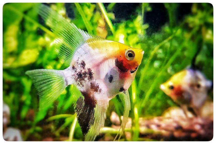 Koi Angelfish Koiangelfish Plantedaquarium Aquascaping Natureaquariums Naturalaquariums Aquascaper Aquariumlife Nanotank Planted Pet Photography  Aquarium