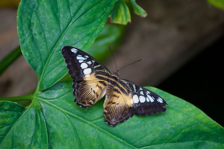 Animal Themes Animal Wing Animals In The Wild Beauty In Nature Butterfly Butterfly - Insect Close-up Day Full Length Insect Leaf Nature No People One Animal Outdoors