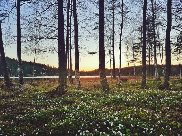 Almost summer Grove Trees And Nature Trees And Sky Ecology Nature No People Green Color Growth Sky Outdoors Beauty In Nature Water Tree Sunset Springtime Nature TreePorn Branches Sweden Natureporn Trees Nature Photography Flowers 🌸🌸🌸 Red Sun Sunset_collection Dramatic Sky The Great Outdoors - 2017 EyeEm Awards