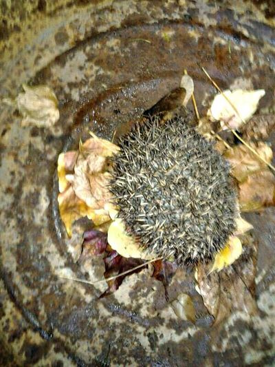 Here is the Hedgehog that now lives in our Innercourt . No sign of Wintersleepyet!