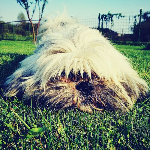 they teach us how to love Grass Close-up Day Nature Animal Hair Green Color Dog Dog In Grass Dog In Garden Lhasa Apso Domestic Animals Dogs Of EyeEm Dog Nose A Lot Of Love Pet Pet Photography  Pet Love Animals Long Goodbye
