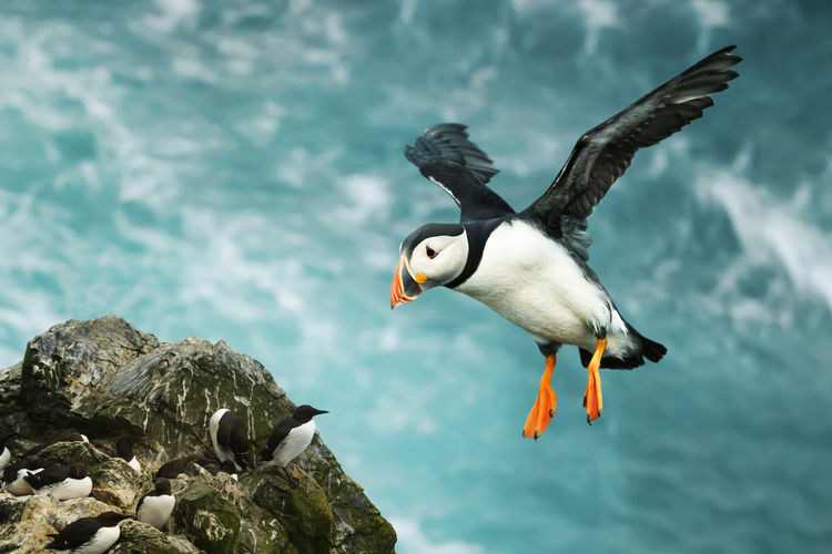 Puffin flying over sea