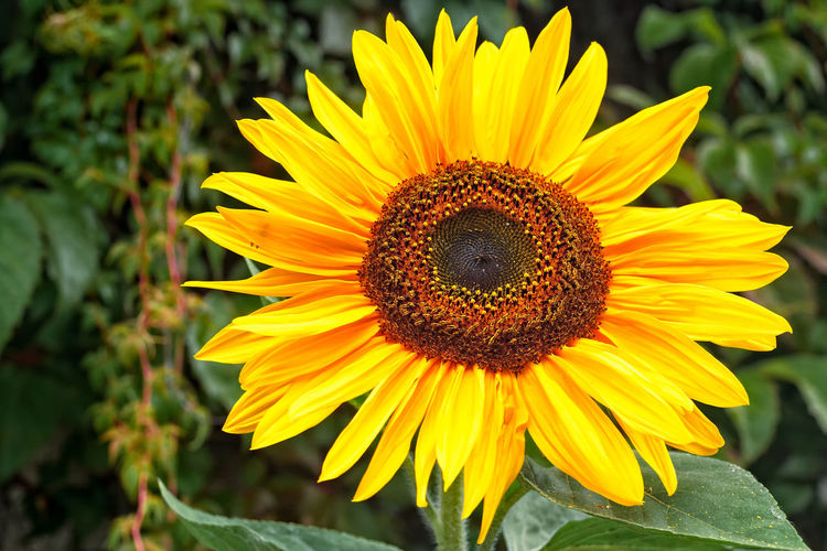 Close-Up Of Fresh Sunflower Blooming Outdoors