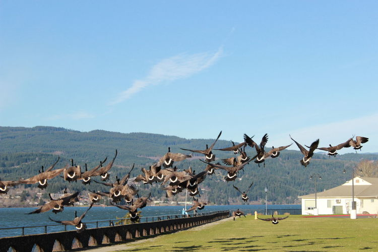 Canada geese flying over landscape