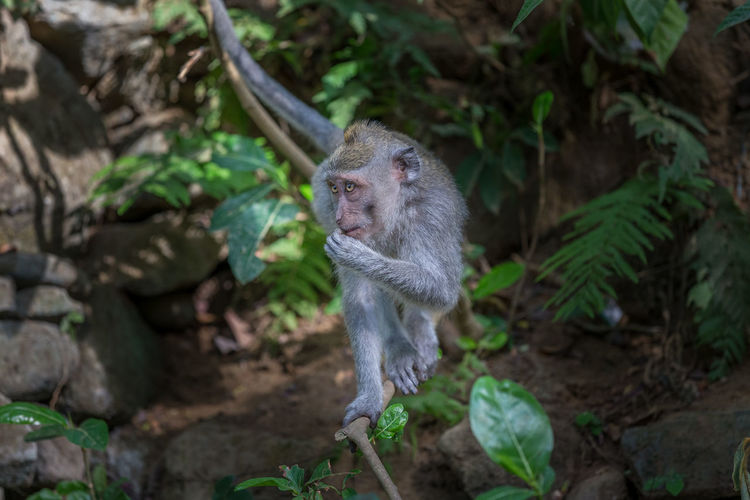 Close-up of monkey on branch at ubud forest