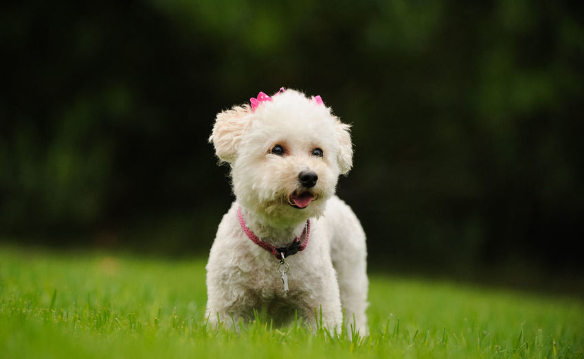 White Miniature Poodle dog outdoor portrait Poodle Animal Themes Cute Day Dog Domestic Animals Grass Green Color Mammal Mini Miniature Poodle No People One Animal Outdoors Outside Pets Poodle Portrait Sticking Out Tongue White