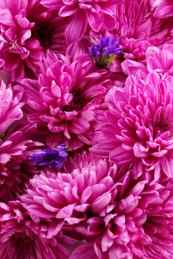 pink and purple Flower Head Flower Full Frame Backgrounds Petal Pink Color Peony  Close-up Plant Chrysanthemum In Bloom Blooming Purple Blossom