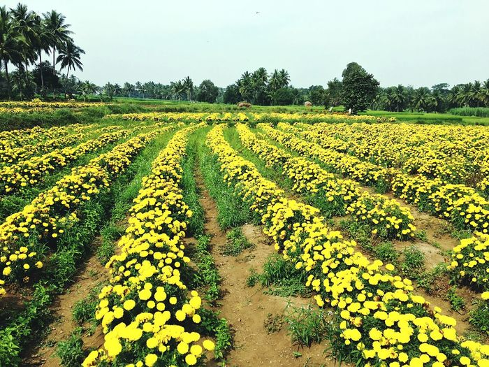 Flower fields in Mysore Growth Agriculture Field Rural Scene Green Color Farm Tranquility Nature Tree Beauty In Nature Landscape Scenics Tranquil Scene Plant No People Sunlight Sky Outdoors Day Freshness