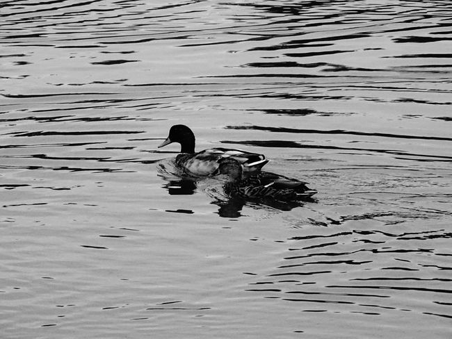 Animal Themes Bird Water Lake Animals In The Wild Wildlife Swimming Duck Tranquility Rippled Zoology Animal Nature Togetherness Water Bird Avian Waterfront Day Tranquil Scene Outdoors Monochrome Photography Bnw Simple Photography EyeEmBestPics Swimming Animal