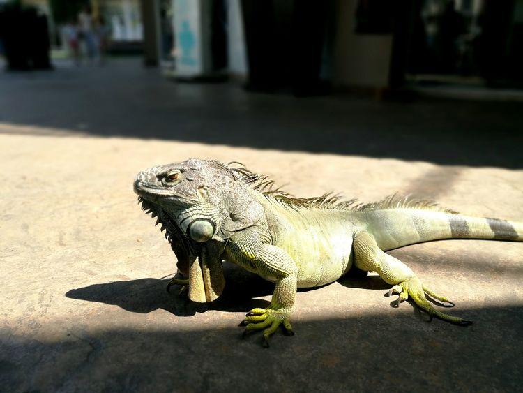 Reptile Iguana Outdoors Animal Wildlife Animal Themes Close-up