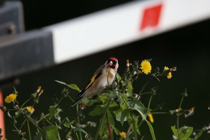 Cardellino Carduelis Carduelis Carduelis Fringillidae Birdwatching Cardellini Flower Animal Wildlife One Animal Insect No People Plant Day Bird Nature Animal Themes Flower Head Beauty In Nature