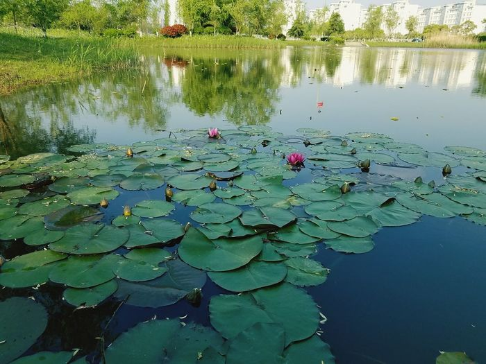 Lotus water lily in pond