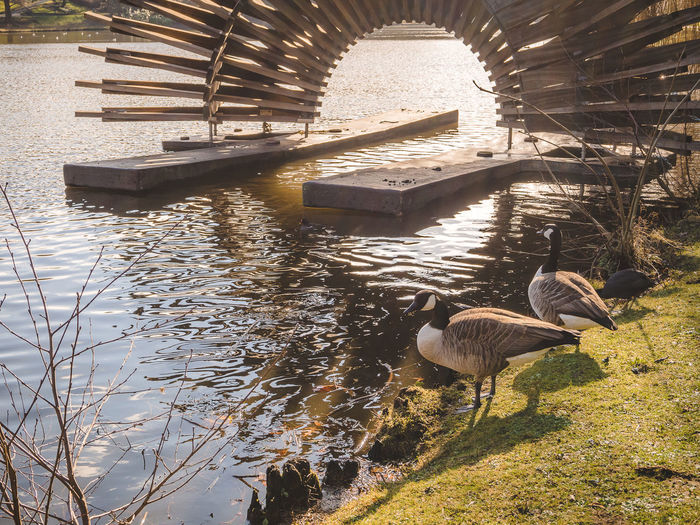 Animal Themes Animal Wildlife Animals In The Wild Bird Day Golden Hour Goose Lake Nature No People Outdoors Park Sunlight Water Water Bird