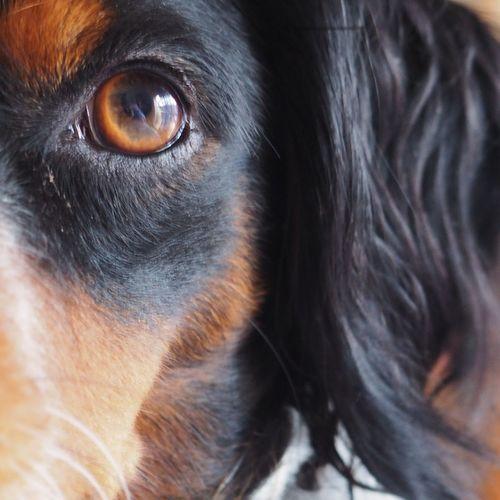 Olympus OM-D E-M10 Mark II Domestic Animals Epagneul Breton Dogs Of EyeEm Dogs dogs mydogDogs Love