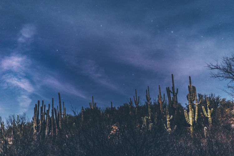 Low angle view of cactus against sky at night