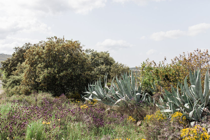 Agavoideae Fleshy Leaves Agave Leaf Asparagaceae Asparagales Cactus Nature Portugal Succulents Agave Agave Americana Agave Fields Agave Flower Agave Plant Agaves Alentejo Beauty In Nature Cactus Collection Field Growth Monocot Nature_collection Perennial Succulent Plant Tranquility