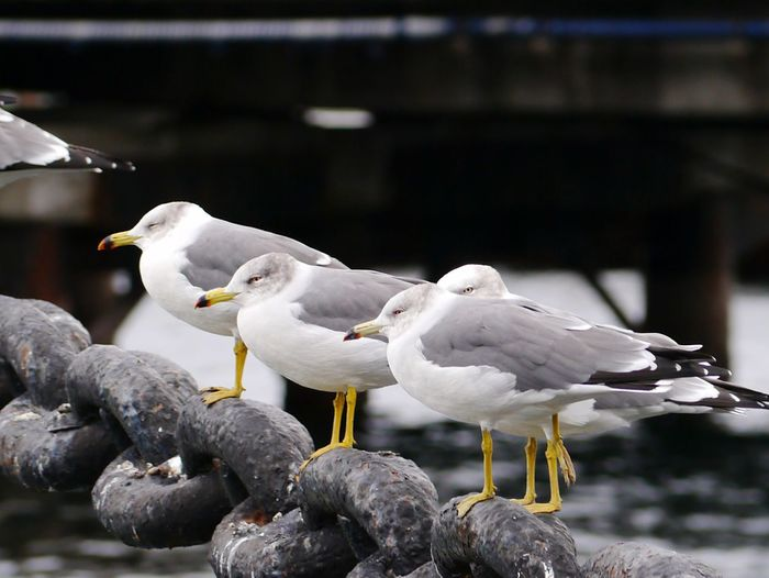 Seagulls perching on chain