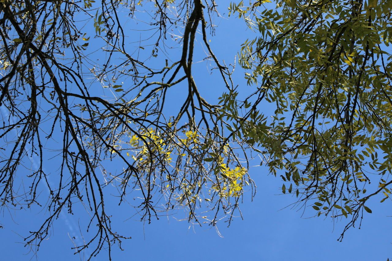 tree, branch, low angle view, nature, growth, blue, clear sky, beauty in nature, day, no people, outdoors, sky, leaf, catkin, freshness, flower, fragility