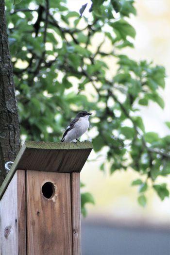 Beauty In Nature Bird Birds Bontevliegenvanger Europeanpiedflycatcher Infrontofourhouse Nesting Birds