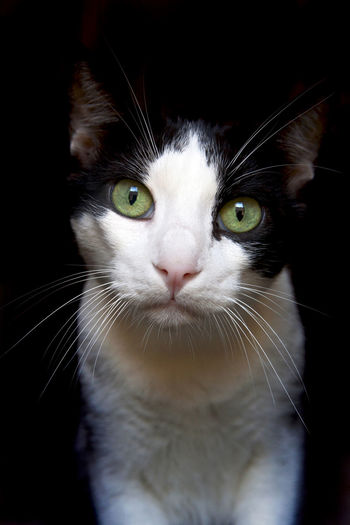 Animal Themes Black Background Close-up Day Domestic Animals Domestic Cat Feline Looking At Camera One Animal Yellow Eyes