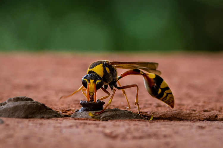 Black and yellow potter wasp building her nest