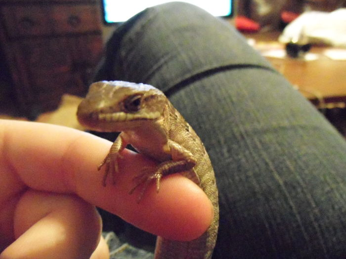 Lizard Reptile Alligator Lizard Animals In The Wild Cute Face Lizard Finger Perch Holding Human Body Part Human Finger Human Hand Indoors  Leisure Activity Lifestyles Lizard Pet One Animal One Person Perching Pet Lizard Reptile Small Small Lizard Unrecognizable Person Wild Lizard