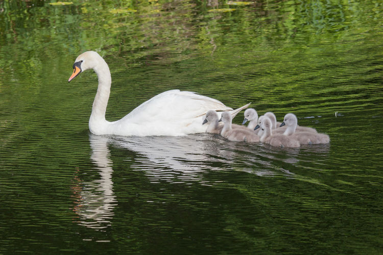 Mute Swan With Cygnets In Pond