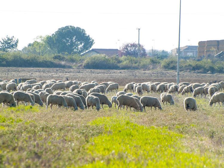 Animal Animal Themes Animals Cattle Environment Farm Farm Life Flock Of Sheep Grass Grazing Lamb Landscape Livestock Mammal Nature No People Pasture Pasture, Paddock, Grassland, Pastureland Rural Lanscape Rural Life Rural Scene Scenery Sheep Sheeps Stubble