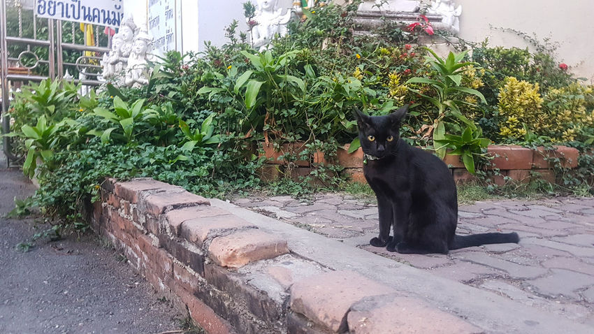 Photo session 2 One Animal Animal Themes Plant Pets Domestic Animals Waiting Cat Animal Photography Animal In City Observing Waiting Black Cat Love Black Cat Cat Statue Cats 🐱 Temple Animal Portrait Looking Forward Sidewalk Asian  Day Nature Composition