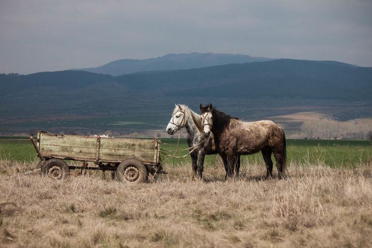 Horses tied on trailer on field