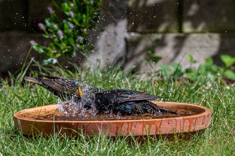 European starlings, sturnus vulgaris, bathing and splashing in a garden bird bath