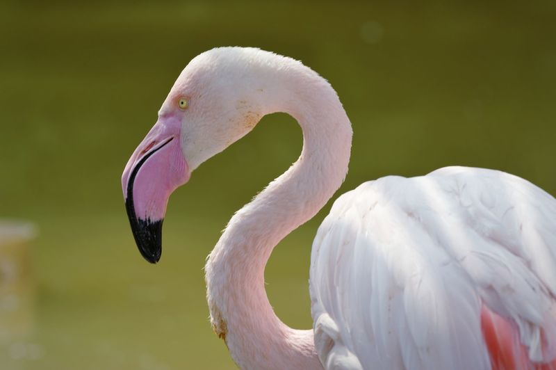 Flamingo style Pink Color Pink Power Scenic Minimal Animal Themes Animals In The Wild Wildlife Nature Nature_collection Fine Art Photography EyeEm Selects Flamingo Bird Swan Portrait Beak Water Pink Color Curve Feather  Full Length Animal Eye Profile Tropical Bird Eye Eye Color Yellow Eyes