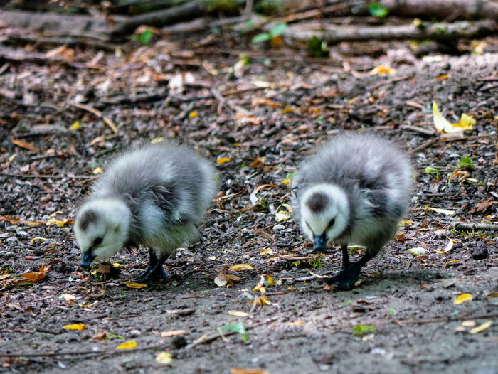 Barnacle goose gosling. Wildlife & Nature Wildlife Photography Young Small Barnacle Goose Germany NRW Bottrop Cute Bird Young Animal Young Bird High Angle View Field Close-up Gosling Goose Geese Greylag Goose Flock Of Birds Water Bird Chick Duckling Baby Chicken Growing