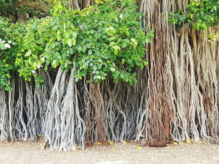 Tree Tree Trunk Green Color Plant Grass Creeper Creeper Plant Lush Plant Life Flora Vegetation Botany Growing Green