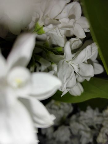 Liliac Flowers White Lilac Liliac Ionita Veronica Photography Flittermouse White Lily Liliac Iorgovan Liliac Alb WOLFZUACHiV Photography Veronica IONITA Photography Flower Petal Close-up Flower Head White Color Nature Fragility Freshness Beauty In Nature No People Bouquet Day