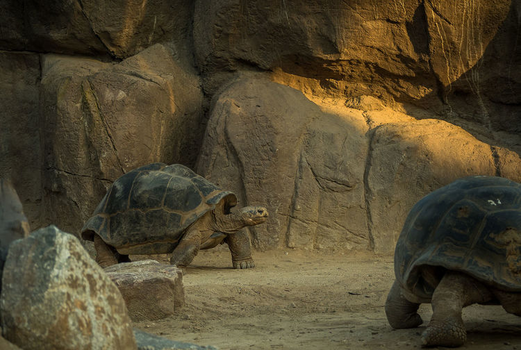 Galapagos giant tortoises on field
